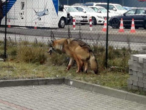 Wilk w Warszawie